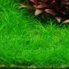 Eleocharis acicularis 'Mini'
