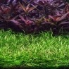 Echinodorus tenellus 'Green'