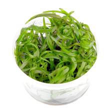 Heteranthera zosterifolia - sterrenkruid