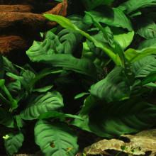 Anubias barteri 'Coffeefolia'