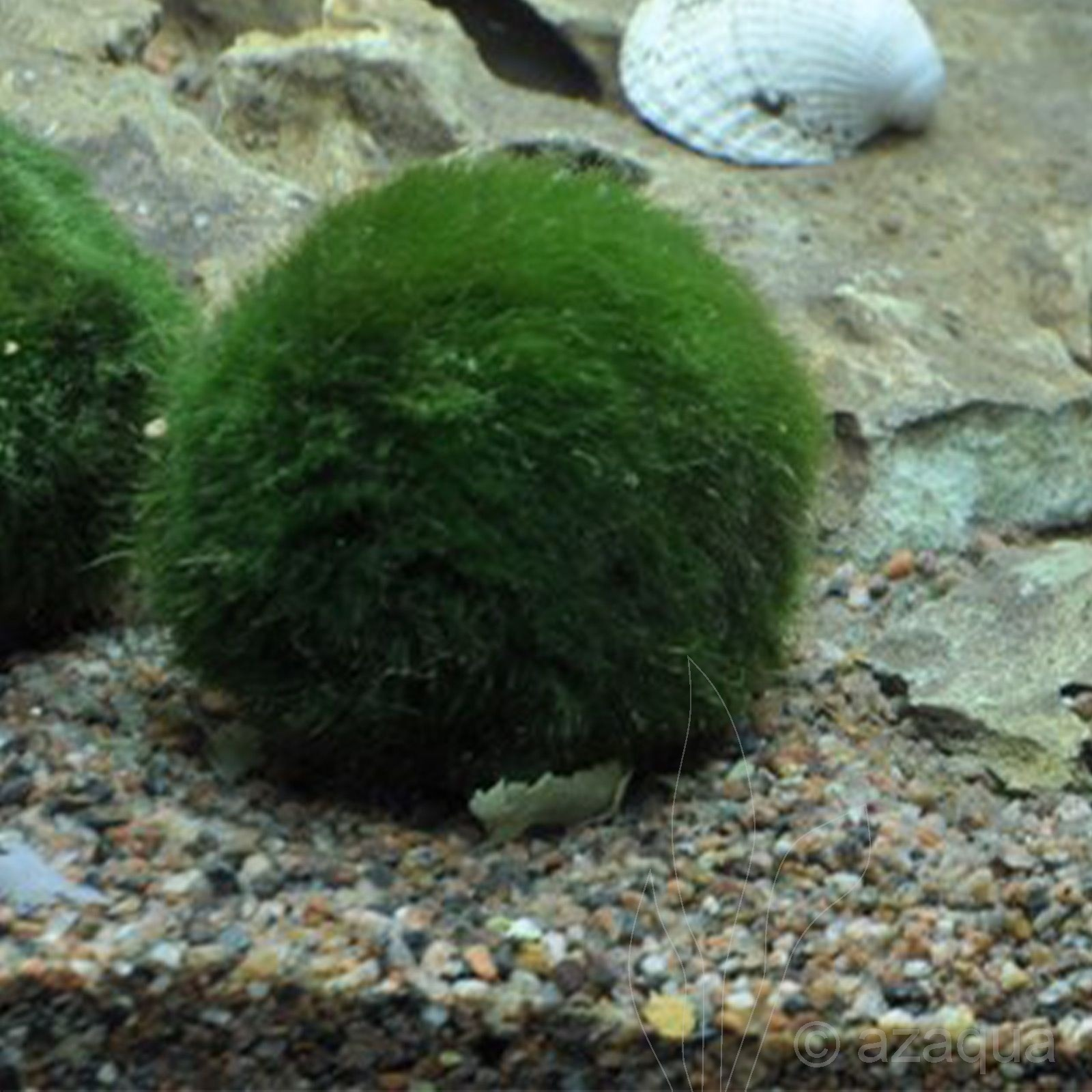 Cladophora aegagropila (moss ball)
