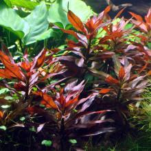 Ludwigia glandulosa