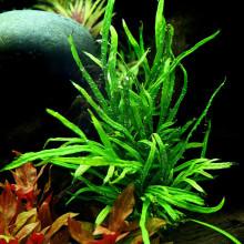 Microsorum pteropus 'Trident'