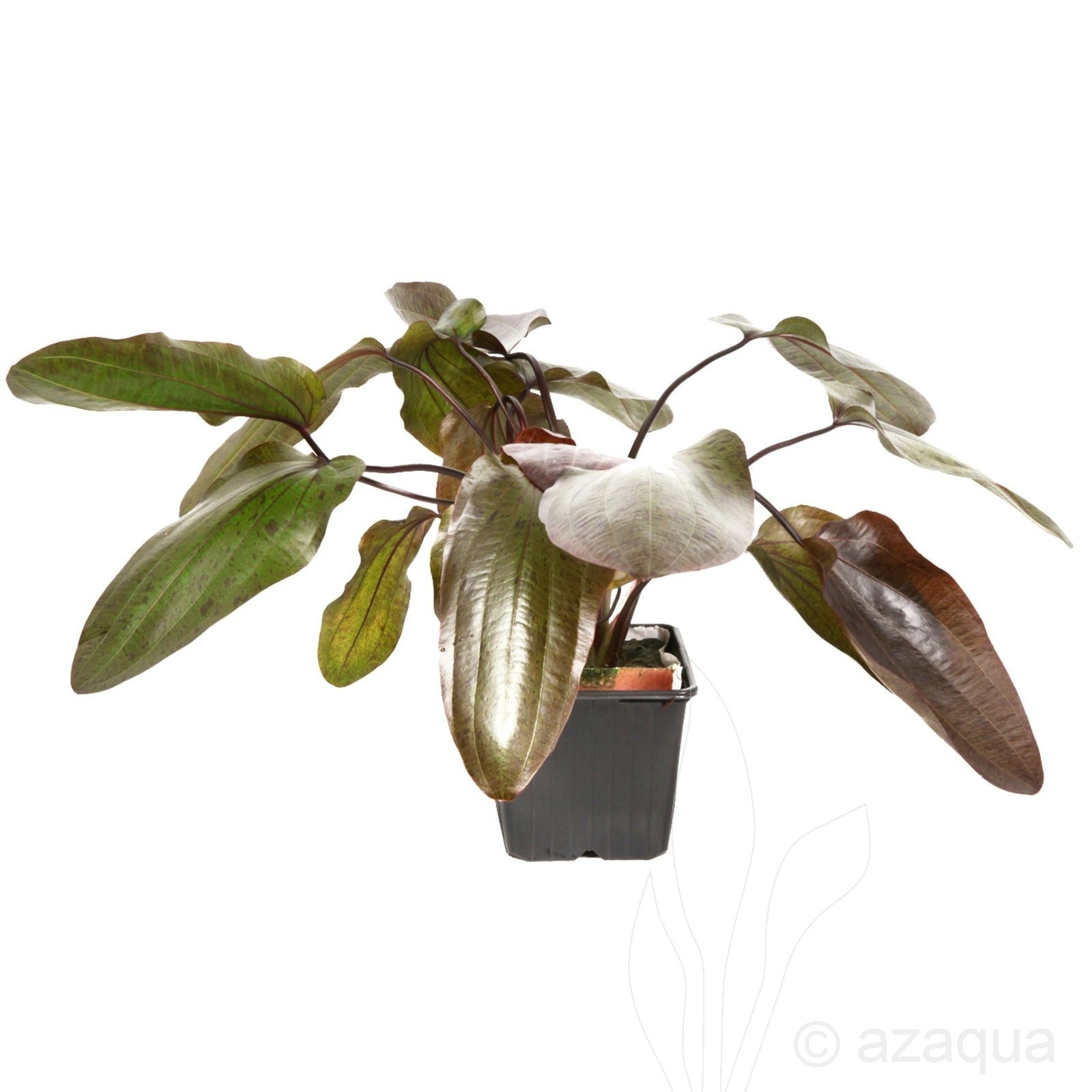 Echinodorus 'Ozelot' XL