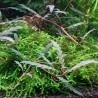 Hygrophila pinnatifida and moss