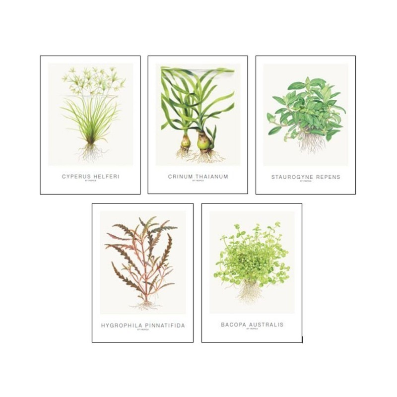 Tropica Art Cards - set Cyperus