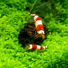 Elzenproppen voor het aquarium