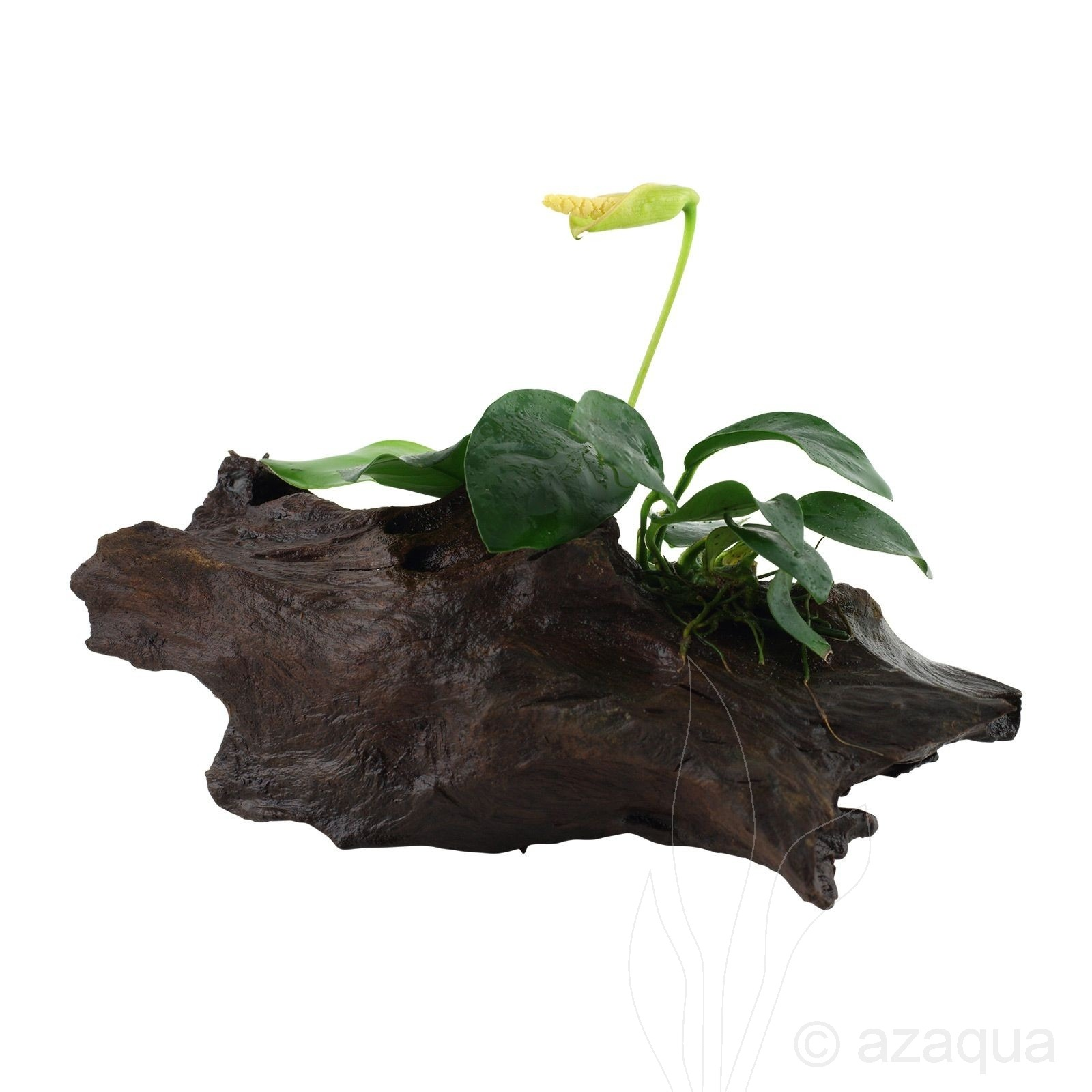 Anubias barteri var. nana on wood