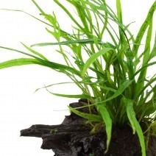Microsorum pteropus 'Trident' op hout - normaal