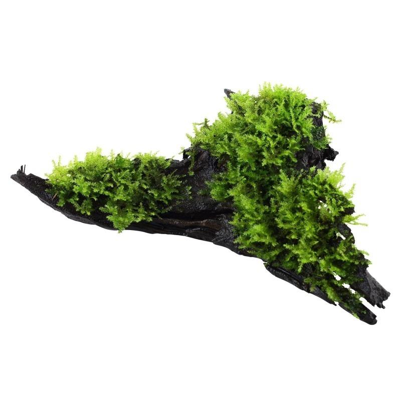 Vesicularia dubyana 'Christmas' op hout