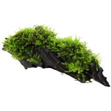 Vesicularia dubyana 'Christmas' on wood