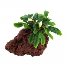 Bucephalandra 'Wavy Green' op steen