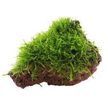 Taxiphyllum barbieri op steen
