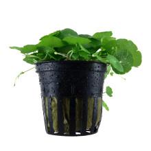 Hydrocotyle verticillata