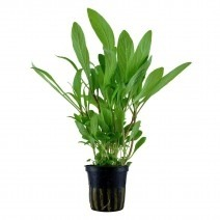 Hygrophila costata (angustifolia)