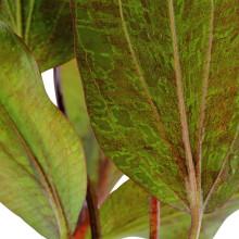 Echinodorus 'Ozelot'