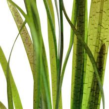 Vallisneria spiralis 'Tiger'