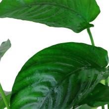 Anubias barteri var. caladiifolia XL