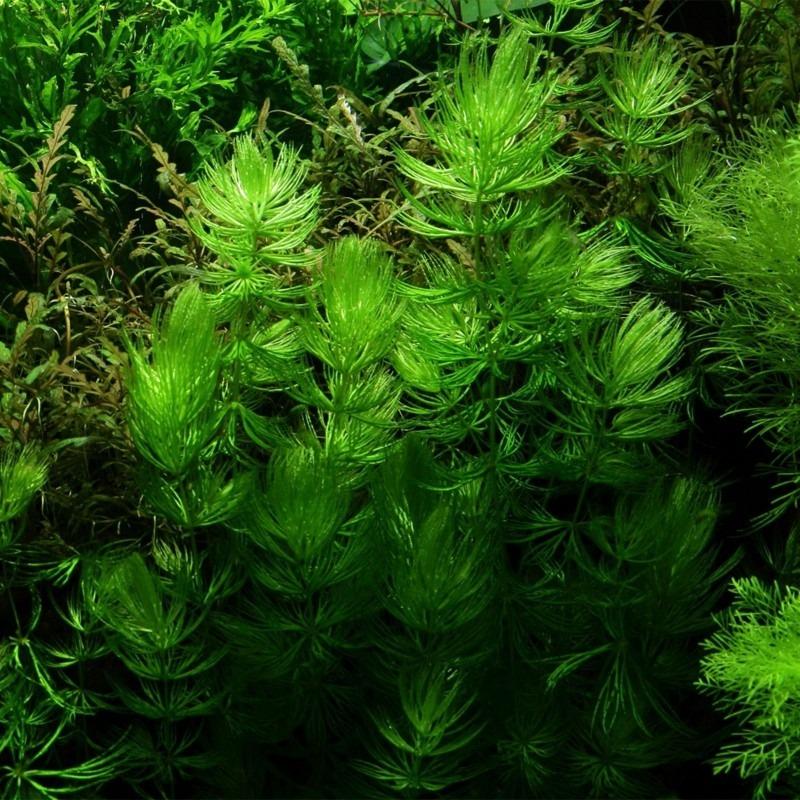 Ceratophyllum demersum Foxtail