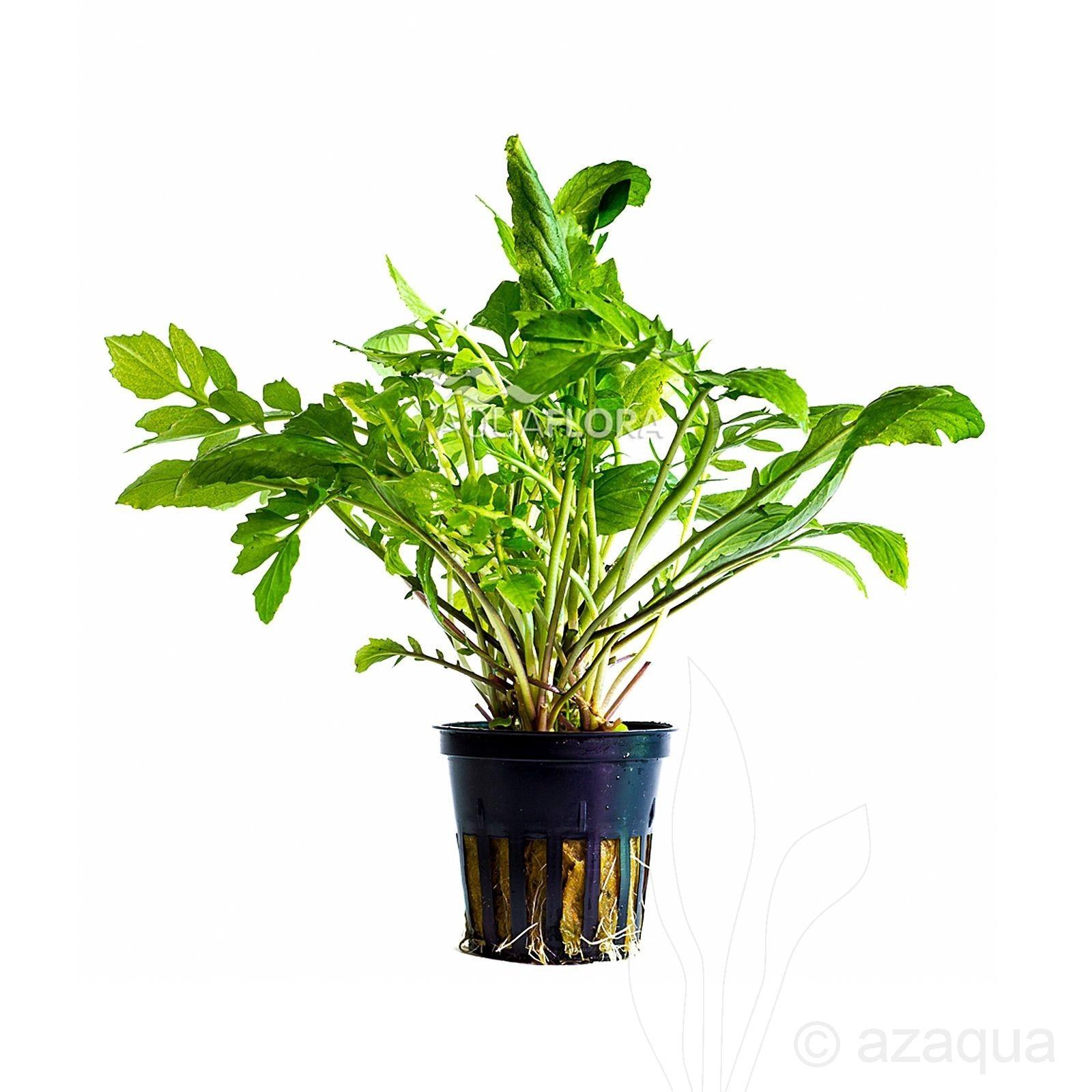 Armoracia aquatica