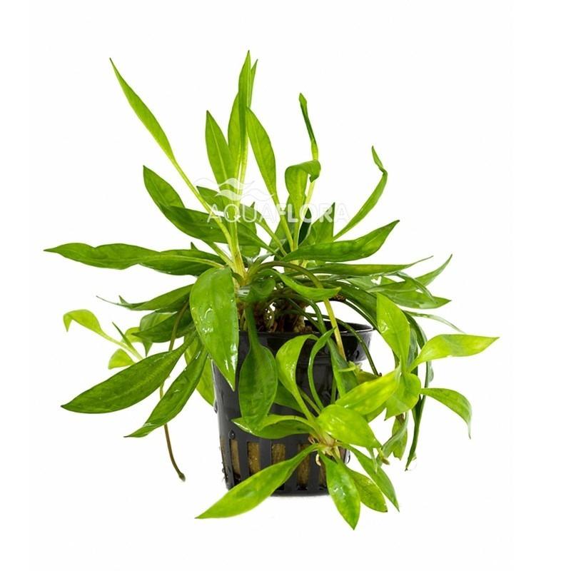 Helanthium bolivianum 'Magdalenensis'