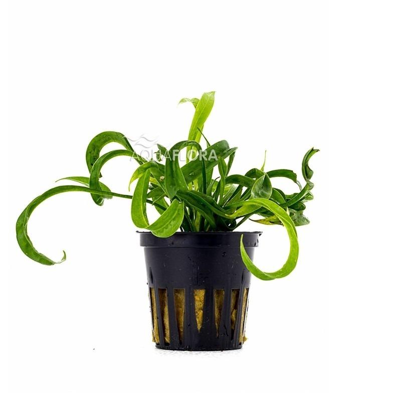 Helanthium bolivianum 'Vesuvius'
