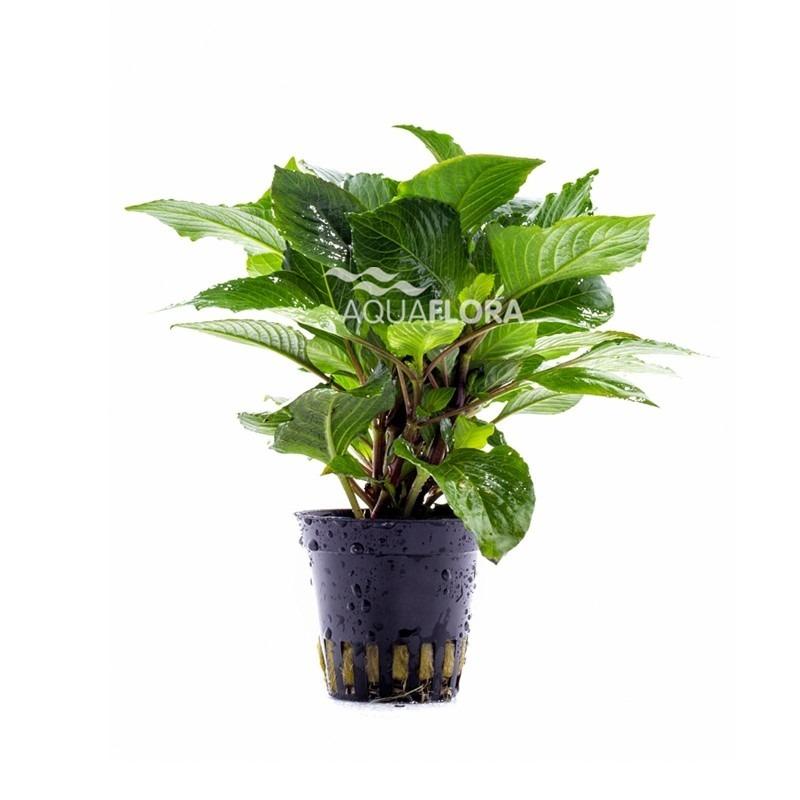 Hygrophila corymbosa 'Parvifolia Green'