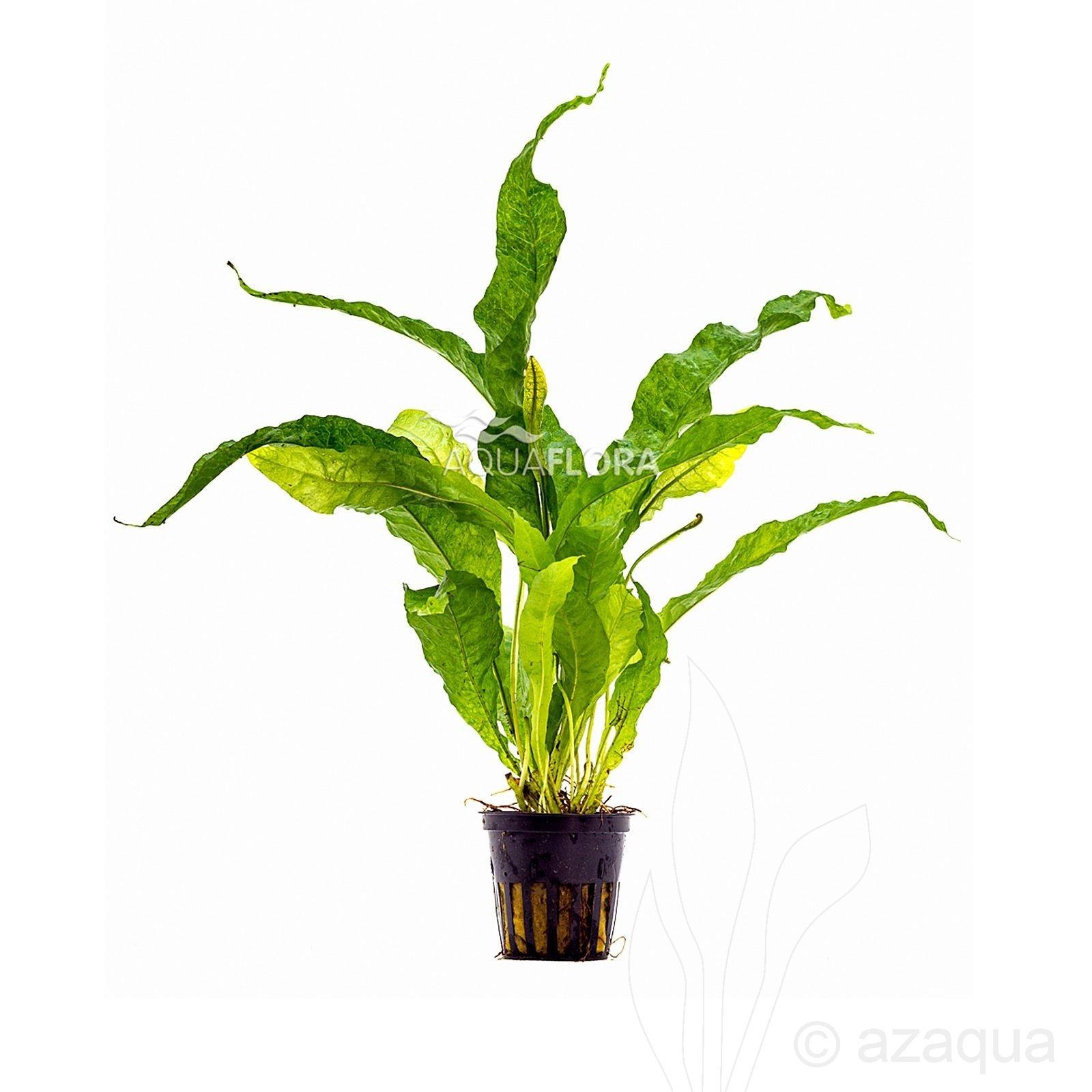 Microsorum pteropus 'Latifolia'