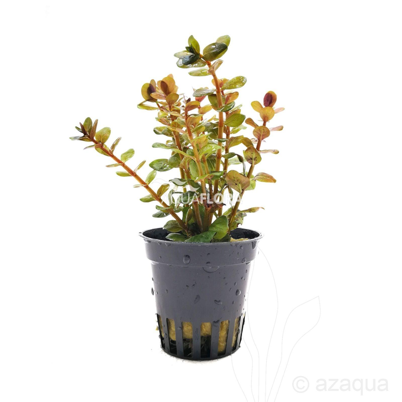 Rotala species 'Yao Yai'