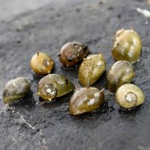 """Clithon sp. """"antler snail"""""""