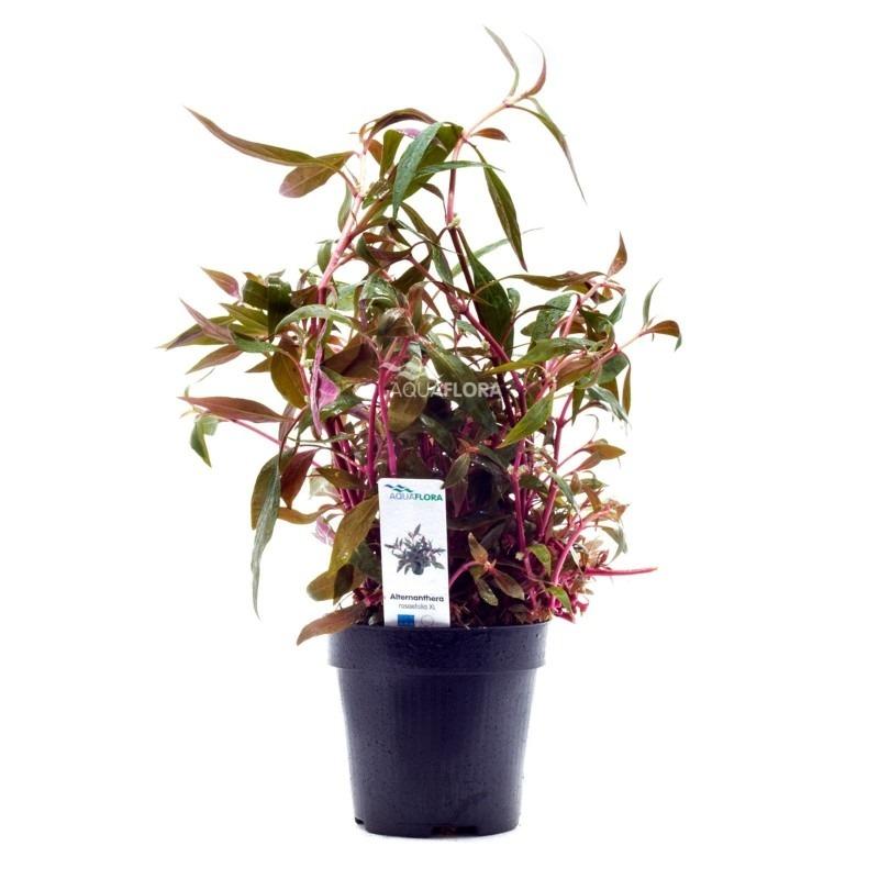 Alternanthera reineckii 'Rosaefolia' XL