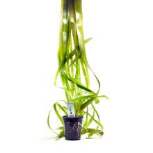 Vallisneria australis (gigantea) XL