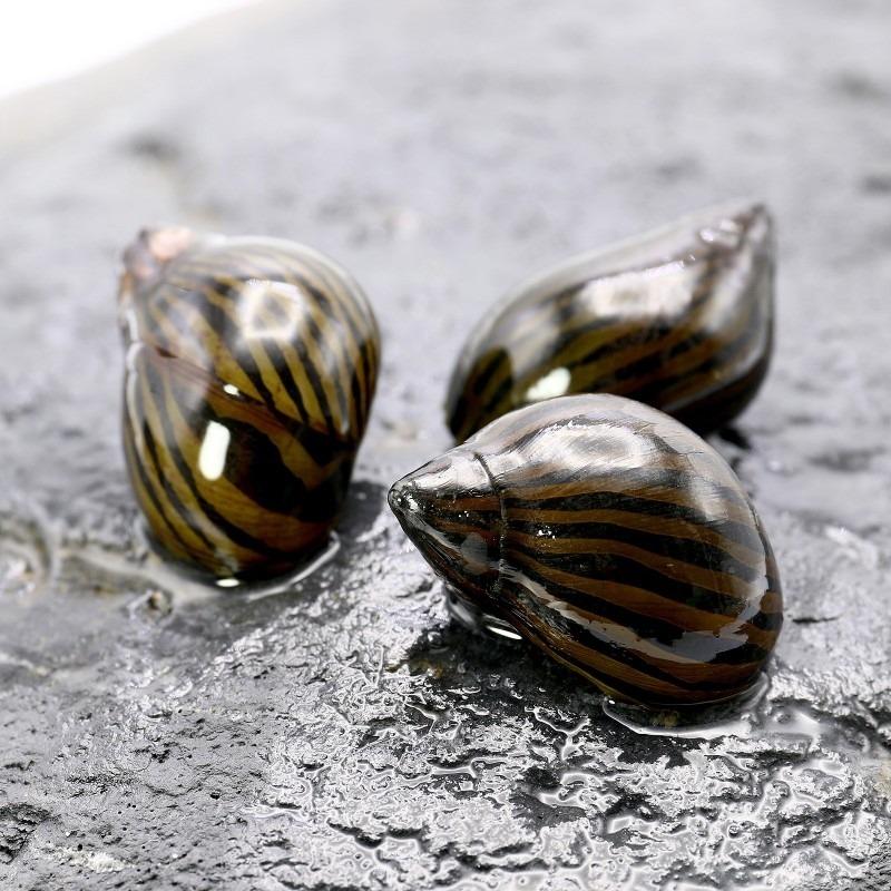Neritina natalensis (Zebra runner snail)