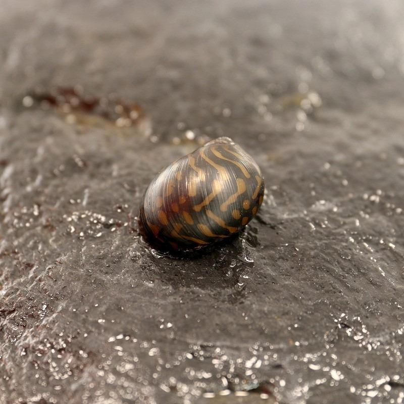 Neritina variegata (Batik runner snail)
