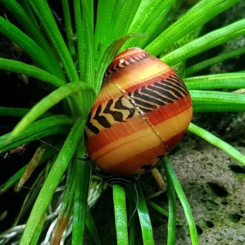 Neritina waigiensis (Red snail)