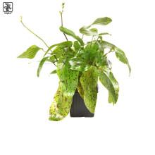 Echinodorus 'Ozelot Green' XL