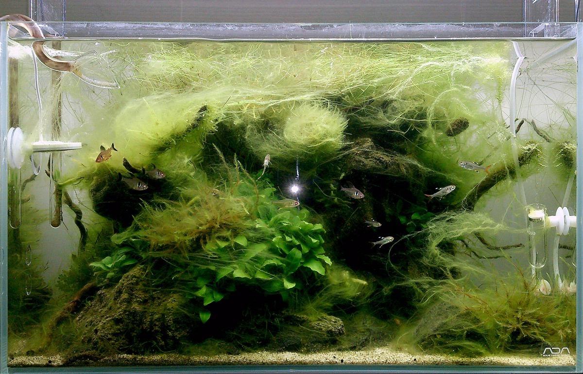 draadalg in aquarium