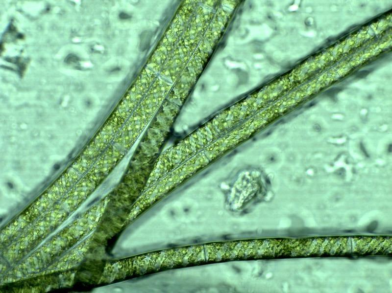 draadalg onder de microscoop