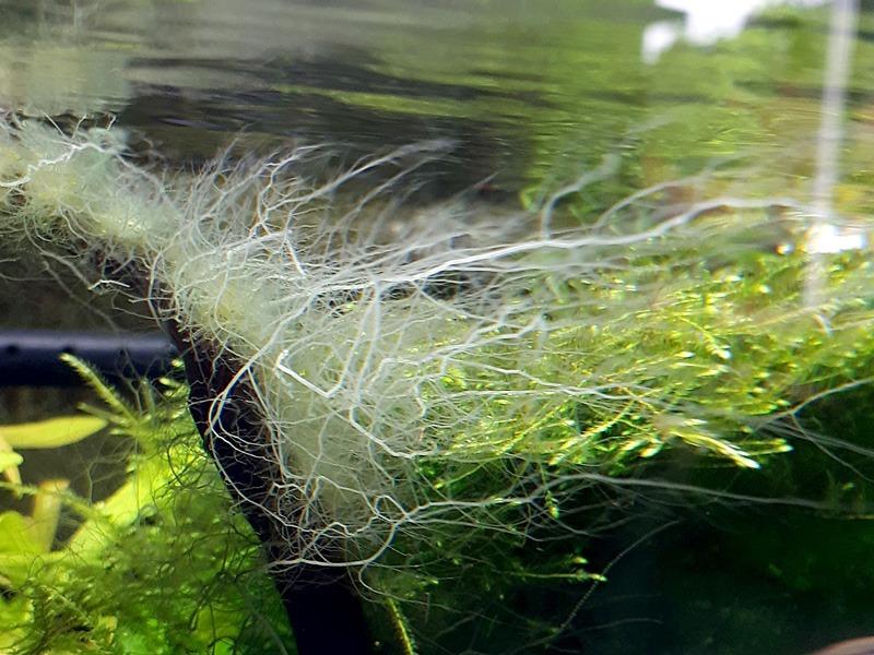 Staghorn alg