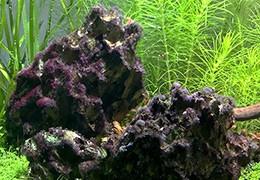 Baardalg in het aquarium